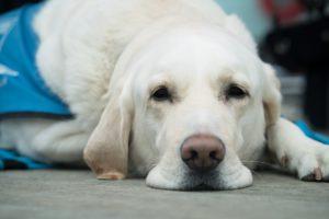 la historia de un perro guia