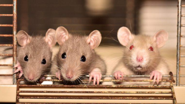 Soñar con ratas: uno de los más recurrentes entre las mujeres entre 35 y 55 años