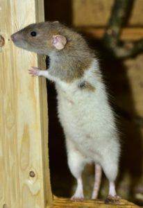 ratas en los sueños